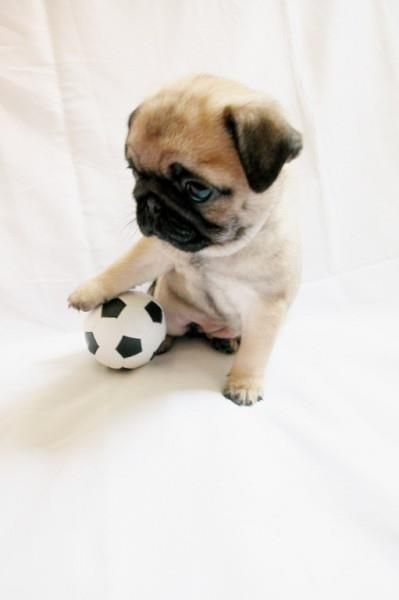 Baby pug playing soccer