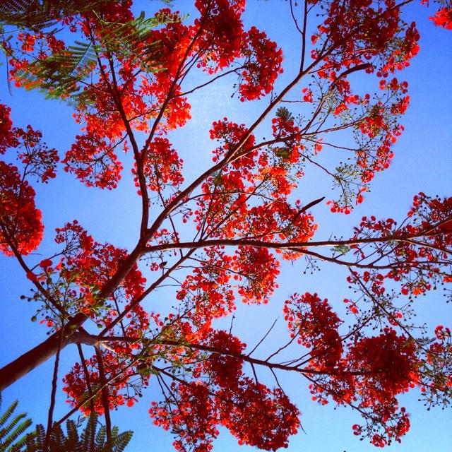"""หางนกยูง Flamebuoyant Tree  """"Delonix regia"""""""