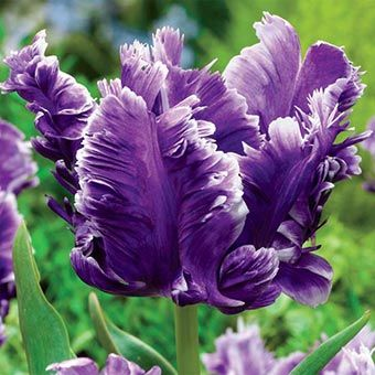 Mysterious Parrot Tulip Unique, Feather-Like Petals - See more at: http://www.springhillnursery.com/product/mysterious-parrot-tulip#sthash.HFJEZr9t.dpuf