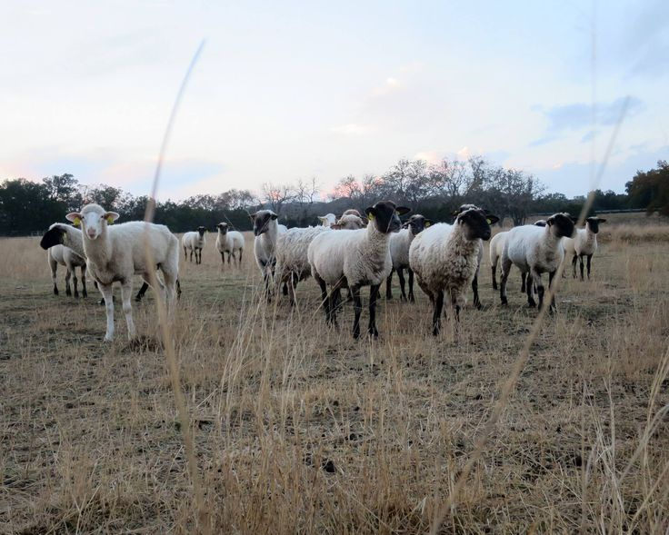 When it comes to cattle and cotton, Texas is king. But we also lead the nation in sheep and goat production. And Texas is internationally famous for its wool and mohair.: