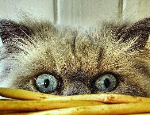 HA !!! OMG I can't stop laughing at this CAT!!! LOL: Funny Kitty, Kitty Cat, Cat Eye, Funny Cat, Kitty Kitty, Crazy Cat, Big Eye, New Pin, Peek A Boo