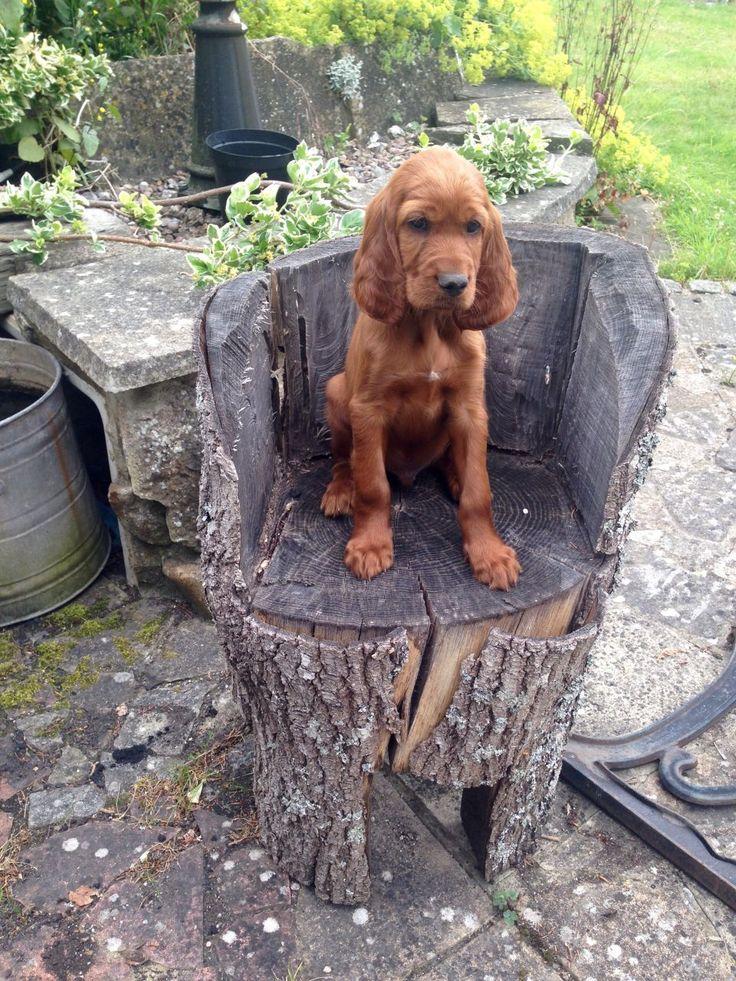 Setter Puppy setting
