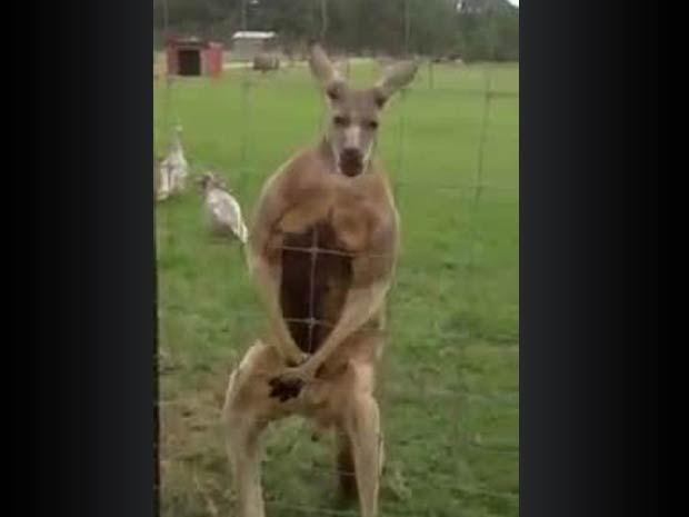 Um canguru.....demasiado musculado - Vituku