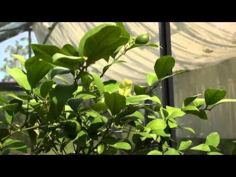how to grow a lemon tree in tasmania