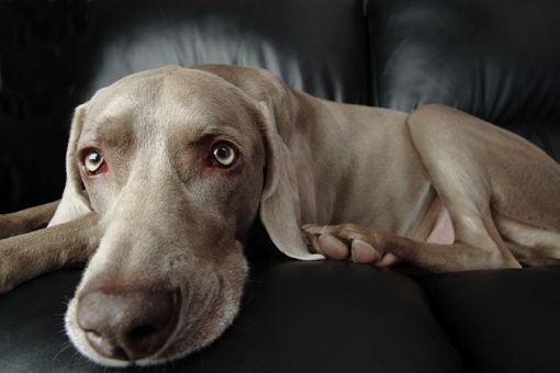 Una raza muy especial, la Weimaraner o Braco de Weimar. Son perros cazadores, rastreadores, que son tan multifacéticos como buenos compañeros.