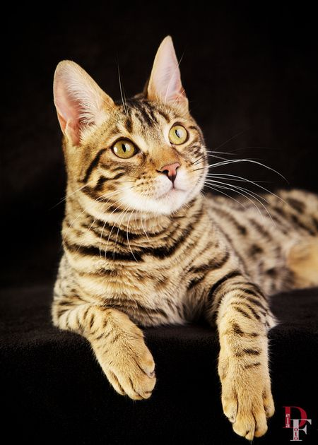 25 best Our Students images on Pinterest | Students ... Bengal Cat Denver Co