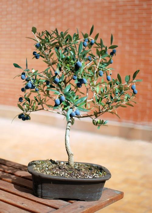 olive bonsai | Bonsais | Pinterest | Bonsai, Plants and