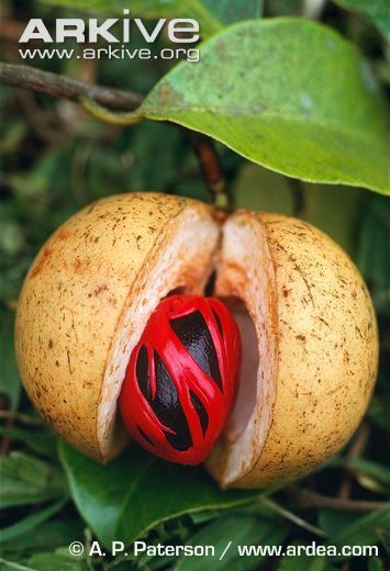 NUTMEG fruit split open and showing mace covering the nutmeg
