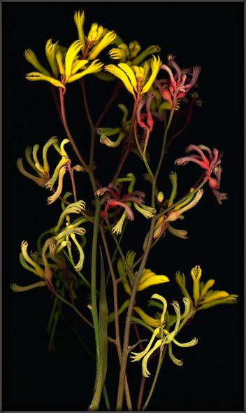 Kangaroo Paw | 袋鼠花 | Australia | 澳大利亚 | These furry flowers, when open, resemble little animal hands, giving them their name.