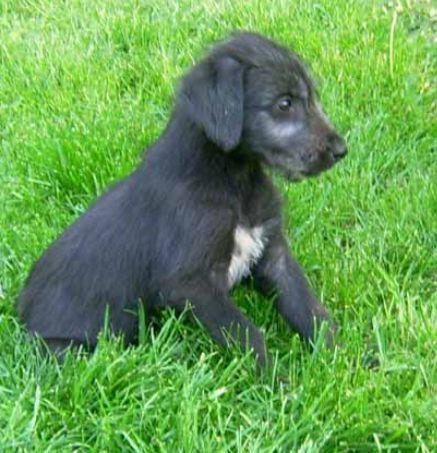 Black Irish Wolfhound puppy images.PNG