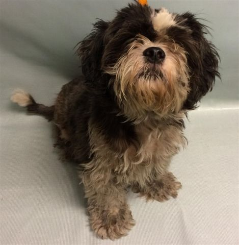 GIZMO -  10538 - - Manhattan  TO BE DESTROYED 10/27/17 *NEW HOPE RESCUE PARTNER ONLY* -  Click for info & Current Status: http://nycdogs.urgentpodr.org/gizmo-10538/