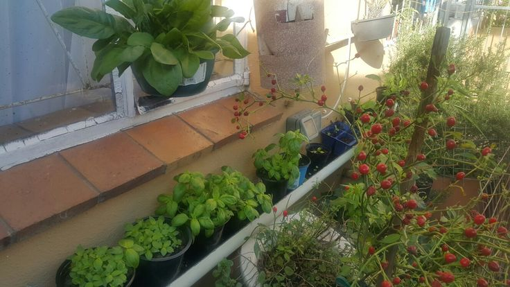 Hanging Baby Spinach/Sweet Basil/Chilli