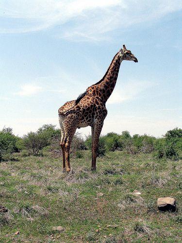Giraffe in the Kruger Park