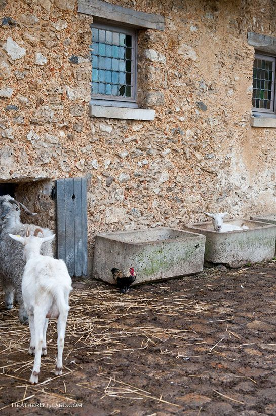 {Marie Antoinette's Hamlet} goats!