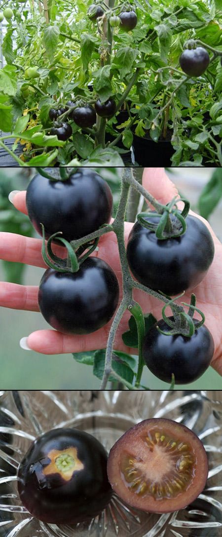 "A new tomato variety called ""Indigo Rose"", a cross breed between red and purple tomatoes. these are supposedly more rich in antioxidants than their red counterpart. Carey if you find these get me one!!"