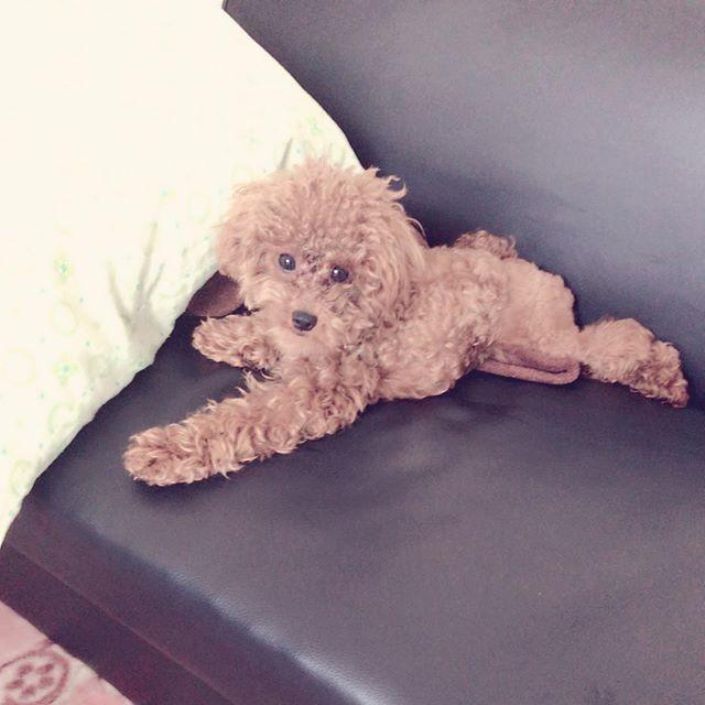 今日はMaronパパが急遽お仕事になっちゃったのでドッグランは延期🐶🐾 最近のMaronのお気に入りの場所はソファの上ーU•ω•U  今からMaronはお風呂入ってくるよ🐩 ドライヤーがまだ苦手だからお風呂やだー!(Maronの心の声)笑 . . . #犬#犬好き #犬バカ部 #犬好きな人と繋がりたい #トイプードルレッド#トイプードル#トイプー#ワンコ#わんこ#愛犬#ペット#dog #toypoodle #toypoodlered #lovedog#🐩 #🐶#🐾#Maron
