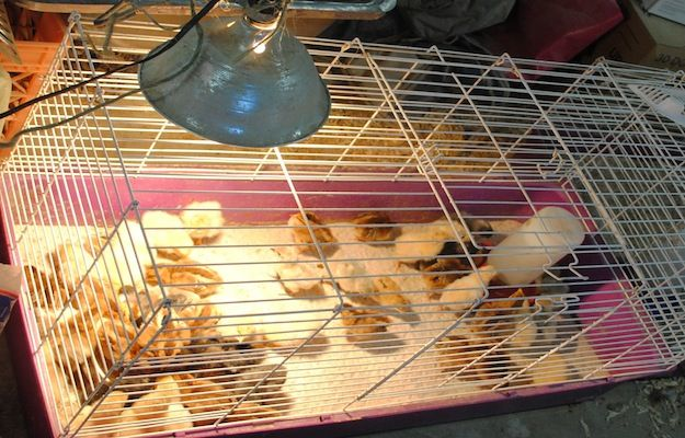 Chicken Brooder| Be Sure to Set Up Your Chicken Brooder Before Your New Baby Chicks Arrive! #pioneersettler