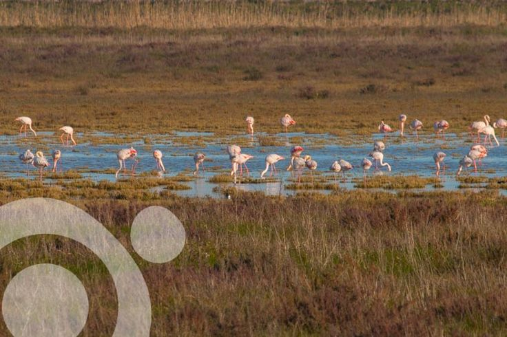 #Birding_in_Spain : Pink flamingos in Doñana marshland. More information to plan your trip to #Doñana in www.qnatur.com
