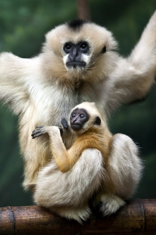 White-cheeked Gibbons are unique in that the males are black with white fur on their cheeks, and the females are tan colored. Gibbon infants are born the same golden tan color as their mothers, but by age two will turn black. The males will remain black while the females will turn back to golden tan once they reach sexual maturity.