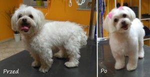 Abi maltańczyk - psi fryzjer