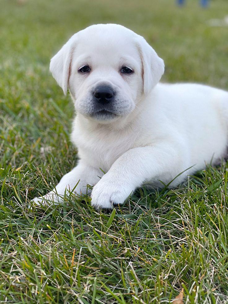 labrador dogs for sale in michigan
