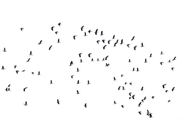 Flock of birds flying Extracted from source: wildxplorer/Attribution 2.0 Generic (CC BY 2.0)