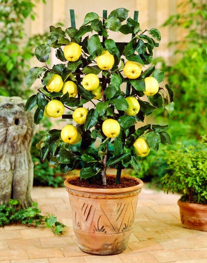 How To Grow An Apple Tree In A Pot Everything About Growing Apples Growing Apple Trees Growing Fruit Trees Fruit Plants