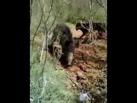 Rottweiler Hunting Wild Boar