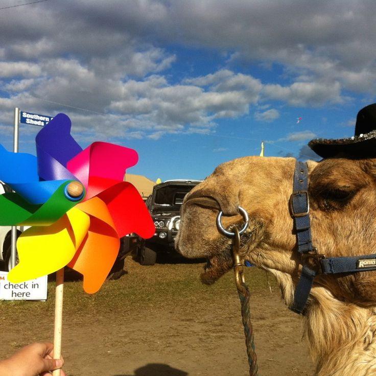 George the Camel taking a liking to a Grande Italian windmill........#italy #whirly #windmills #pinwheels #whirlygig #animal #rainbow