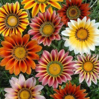 PÅFÅGELSBLOMSTER 'Sunshine' i gruppen Ettåriga blomsterväxter hos Impecta Fröhandel (162)
