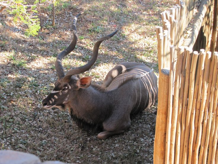 Kudu taking a rest in the shade. Zebula, May 2014