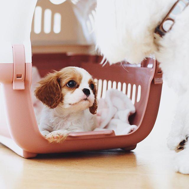 welcome home Chloé 🐶 // #chloe #cavalierkingcharles #puppy #chloethecavalier