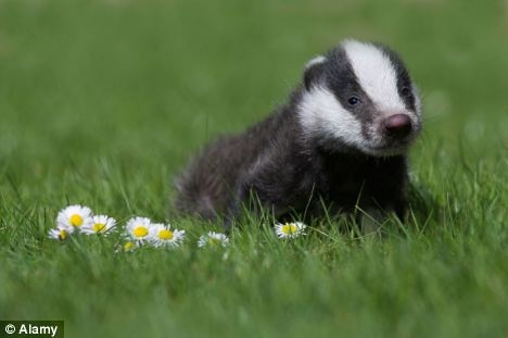 Disease carrier? A picture of a badger was chosen for the front cover of the BBC's Countryfile calendar for 2013