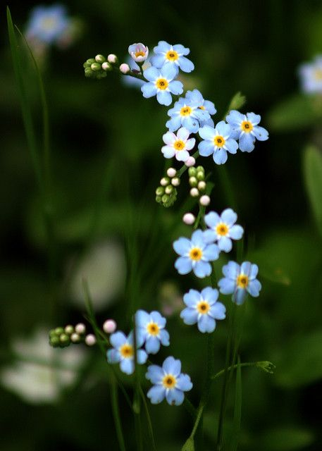 Alpine Forget-Me-Nots (Myosotis alpestris) growing in the woods along Campbell Creek in Anchorage. Forget-Me-Nots are the Alaska state flower. This photo was included in Flickr's Interesting Photos for October 15, 2005.