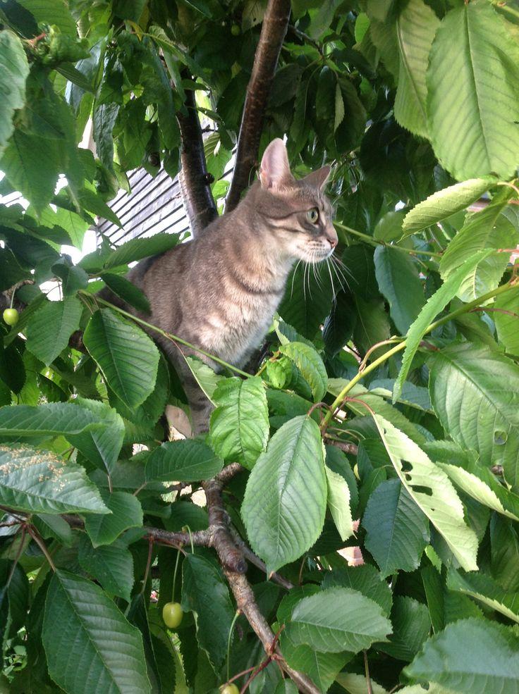 Ollie in de kersenboom, mijn gekke kat