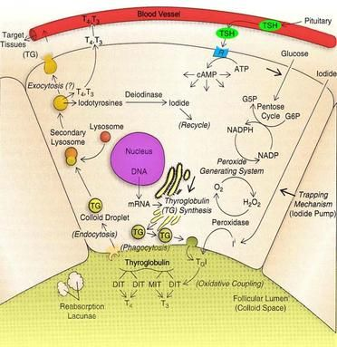 Thyroid Hormone Synthesis Pathway | Thyroid Metabolism Info ...