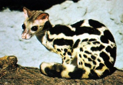 The Linsang is a cat-like small carnivore. A relative of civets and genets, it hides in the dark of African & Asian rain forests...