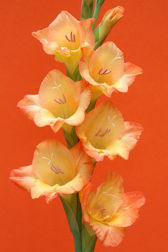 Gladiolas in my fave color...love background and simple ness of one.