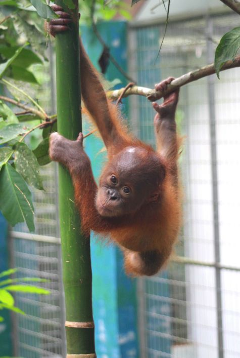 Siboy is one of the bachelor boys who needs a new Baby House. Help us build a new Baby House for Sumatran Orangutans!  http://redapes.org/babyhouse