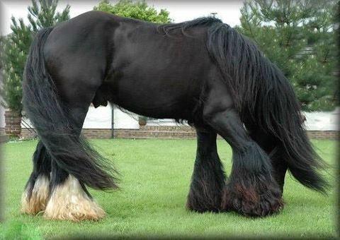 Stunning black/dark bay draft horse with some chestnut ...