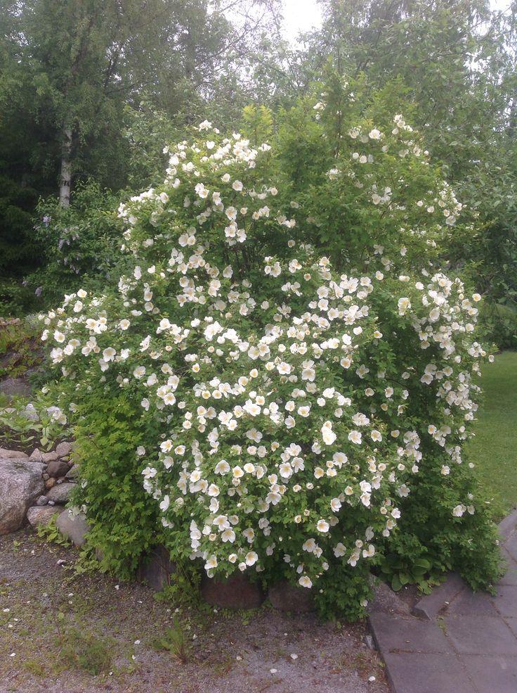 """Rosa pimpinellifolia """"Nils"""" blommar först av alla."""