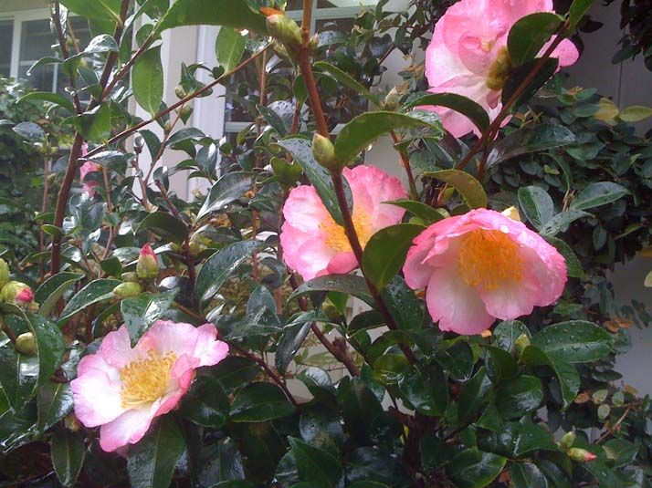 17 Best Images About 2014 15 Camellia Sasanqua On
