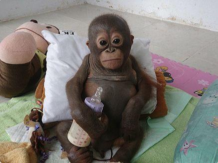 Orangotango bebê resgatado na Indonésia surpreende com recuperação http://r7.com/radW