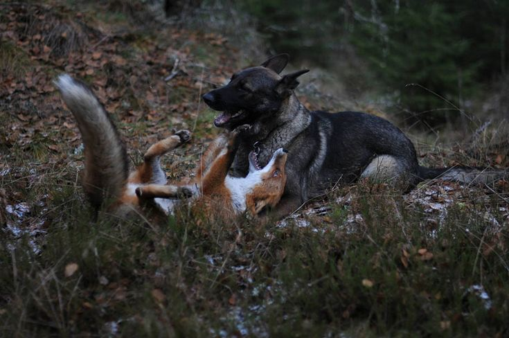 Surprising Friendship Between Norwegian Dog And Wild Fox | Bored Panda.com - Tinni the Dog and Sniffer the Wild Fox ;) ♥