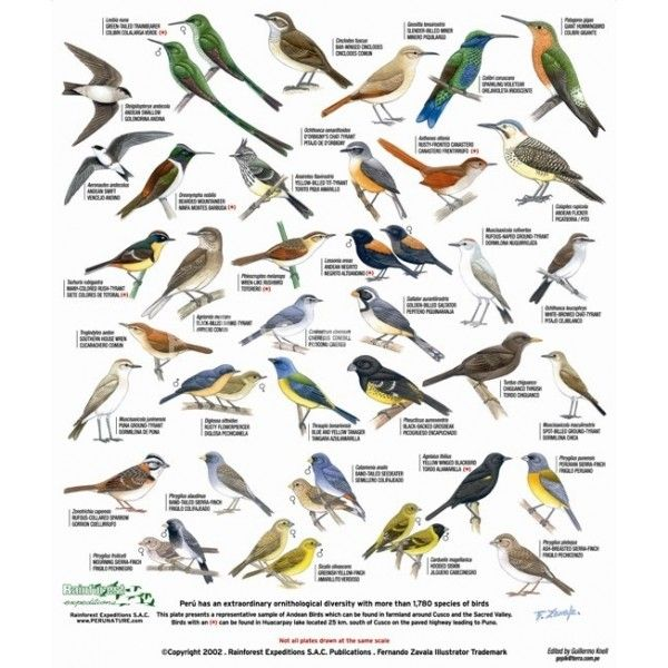 Migrating Birds Diagrams Alabama Birds Identification Chart Cusco Field Guide Of