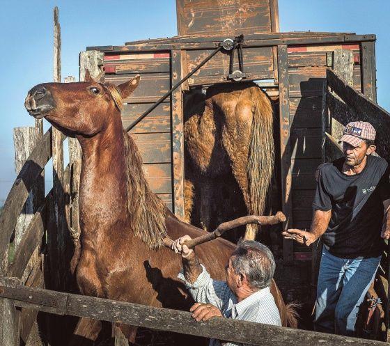 Anisió ja Celso Ferreira (oik.) lastaavat hevosia teurasauton kyytiin. Eläimiä pakotetaan sisään lyömällä. Kuva: Juha Metso / HS -- Lue juttu: Piilotettu alkuperä