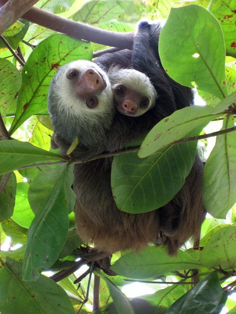 Sloth Sanctuary, Costa Rica #PuraVida   - Explore the World with Travel Nerd Nici, one Country at a Time. http://TravelNerdNici.com                                                                                                                                                      More