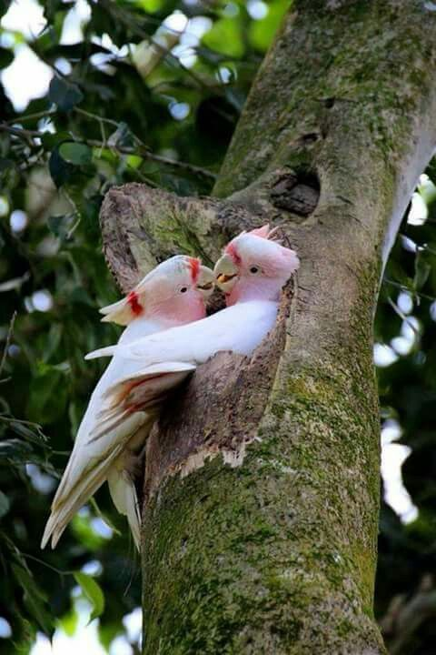 Nesting pair of Major Mitchell's cockatoos