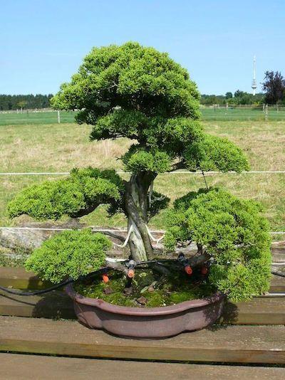 New juniper bonsai