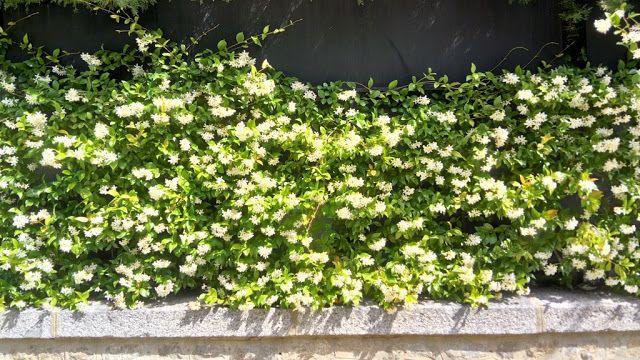 Trachelospermum jasminoides (Lindl.) Lem. (Falso jazmín). Planta trepadora muy resistente a la sequía, al sol y las heladas.  Posee una floración espectacular a principios de la primavera y comienzos del verano, muy olorosa.  De hoja perenne, coriácea verde brillante. Precisa de ayuda para trepar por una celosía, pérgola, muro, étc.  Muy recomendable su uso en jardinería por su rusticidad, su floración y su bajo mantenimiento.